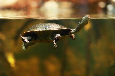 Roti Island snake-necked turtle (Chelodina mccordi), also known as McCords snakeneck turtle. Stock fotó