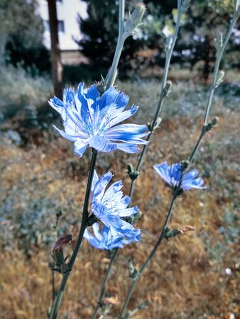 Blue-lilac flowers chicory close-up of five pieces, field plants in the morning sun light city at the