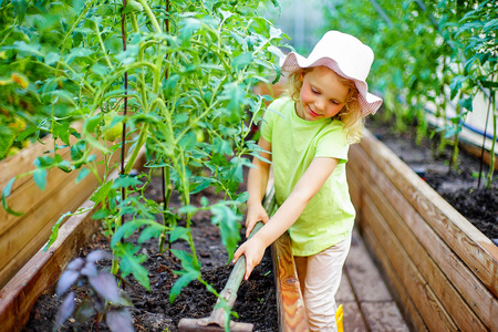 helpers: A lovely little girl gathering in ripe tomato harvest in a vegetable garden. Kids are playing. Little helpers. Stock Photo