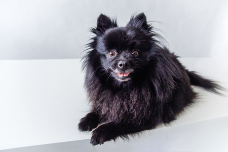 Funny group of furry spitz puppies on white background Stock Photo