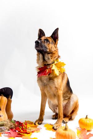 cute german shepherd dog in a halloween costume with pumpkins