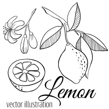 Vector line lemon set: sliced pieces, half, blossom plant with leaves. Sketch citrus vector set isolated on white. Hand drawn tropical summer fruit for menu, branding package, juice, detox drink Vector Illustratie