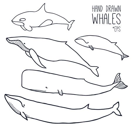 Hand drawn whales set. Outline Vector. Zoological illustration. Marine mammals, such as  blue whale, sperm whale, humpback whale, orca. Giant sea and ocean creatures. Underwater animals collection 일러스트