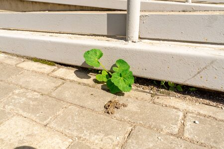 a young shoot of a plant grew in a city yard from under concrete Фото со стока