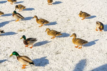 Mallard wild ducks on a frozen lake Archivio Fotografico