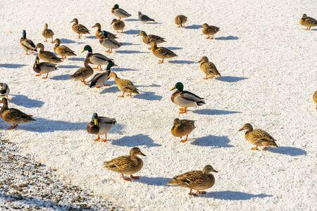 Mallard wild ducks on a frozen lake 版權商用圖片