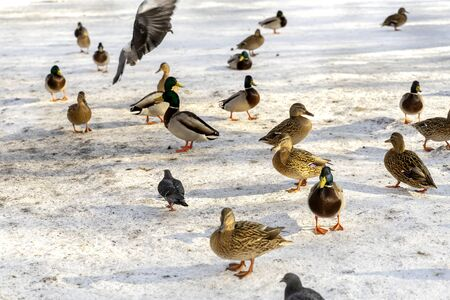 ducks and pigeons walk in the snow and peck feed
