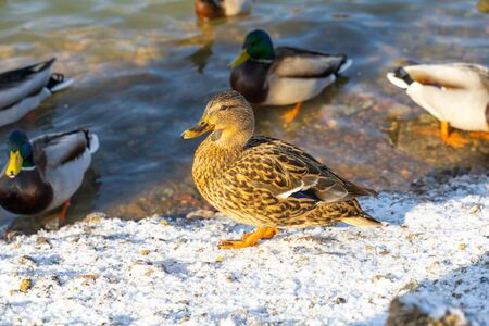 Duck. Mallard ducks in the nature environment. Winter time in Moscow area