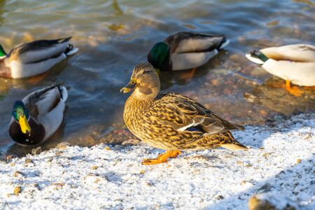 wild ducks on a frozen city pond in winter. one motley duck in the foreground in focus Archivio Fotografico