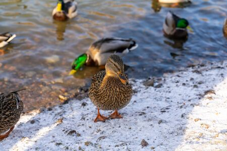 Group of wild ducks near the icy pond in winter time, wintering of wild ducks in the city, fauna ecosystem
