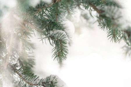 tracked branches of spruce. winter background