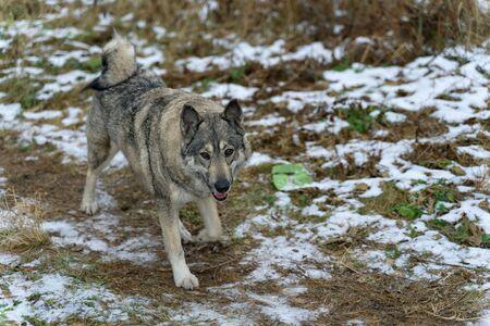beautiful big dog runs on dry grass with snow
