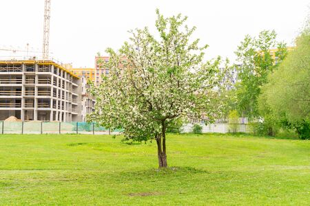 blossoming apple tree on the background of the construction of new residential buildings