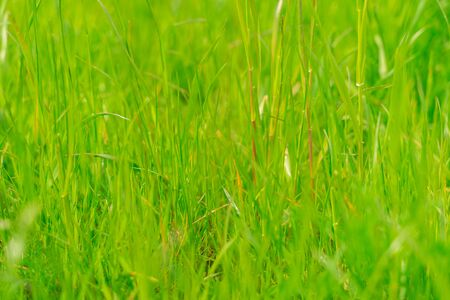 green grass texture. background of green grass with selective focus.