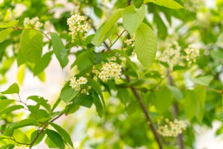 flowering bird cherry close-up. green background. nature in the park