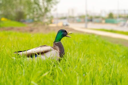 Mallard duck goes on the road. danger of running over animals in the city