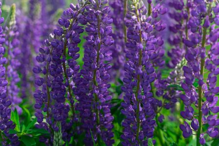 floral background. lupine flowers close up. blue Banque d'images - 149581769