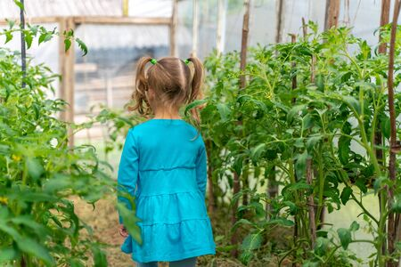 little girl in a greenhouse with tomatoes. vegetables in the country