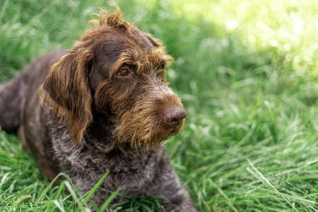 elderly Deutsch-Drahthaar handsome lies in green grass