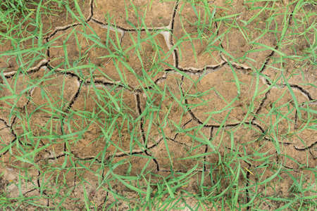 Low Grass, sprouting through dry, cracked soil.