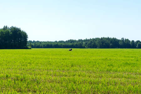 storks walk in a mown field on a summer day