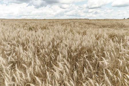 Wheat fields. Ears of golden wheat close up. Beautiful nature