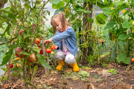 harvesting tomatoes on a family farm. little girl tears ripe fruits in a greenhouse