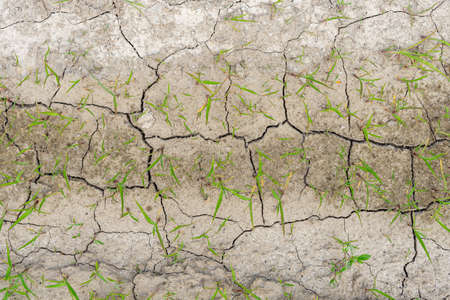 .young grass grass sprouting through dry cracked ground