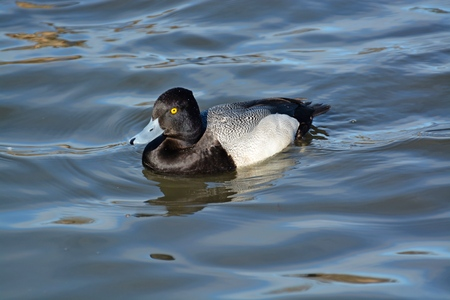 scaup: Lesser Scaup Duck  floating on the water at a pond at George Reifel Sanctuary for Migratory Birds in February 2015.