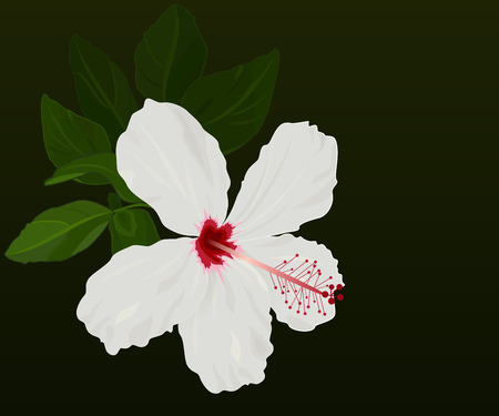 beautiful red hibiscus flower: White hibiscus flower vector background with black copy space.