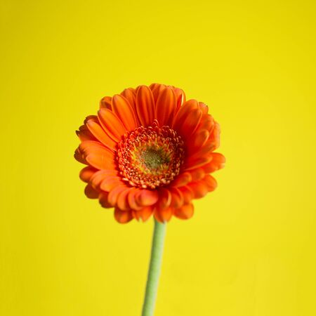 Small orange gerbera on the yellow background with the green stem