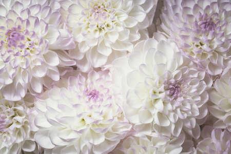 Beautiful white flower dahila with purple and violet accents, petals gradient color background texture