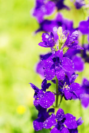 Close up of the violets flowers, soft focus