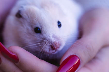 White cute hamster - symbol of the new year sits in the hands of a young girl with red nails. Close up.