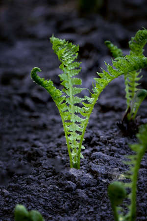 young fern, sprouting in the spring in a garden on an open ground, restoration of nature