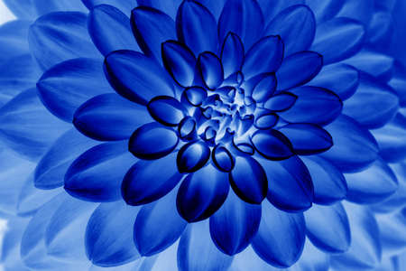Oil painting of Blue dahlia petals , floral abstract background. Close up of flower dahlia for background