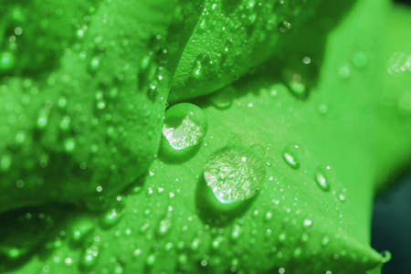 green rose petals with dew drops, close up, soft focus.