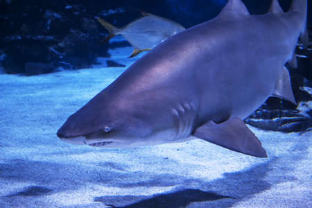 The Sand shark in clear water of Atlantic ocean. Aquarium with real shark in Budapest Stockfoto
