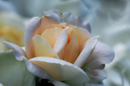 Close up of a beautiful light white rose can use as wedding background ..