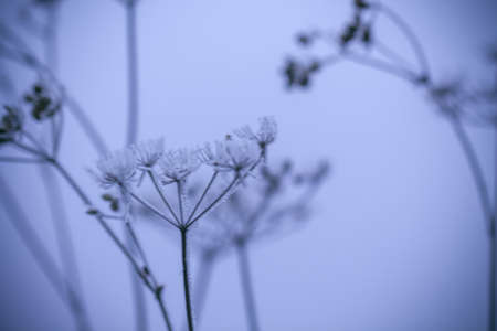Beautiful grass covered with white frost. Grass in the meadow covered with hoarfrost. The first frosts.Late autumn, the concept of frost. selective focus. Stockfoto