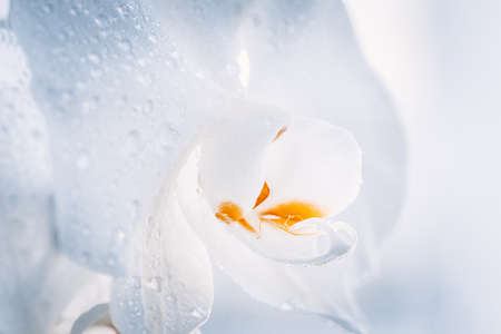Close up of white Phalaenopsis or Moth dendrobium Orchid flower tropical Floral nature background. Selective focus