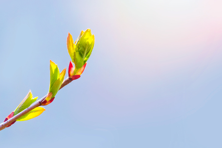 Spring has come, the first green. Nature wakes up. Dissolve the first leaves on the branches. Warm days. Kidney trees disclosed. A symbol of new life, hope, new business. A sunny spring day. Stock Photo