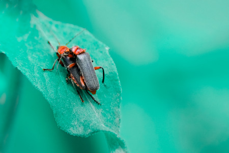 Two common red soldier bug with black dots beetles mating on a leaf. Stock Photo