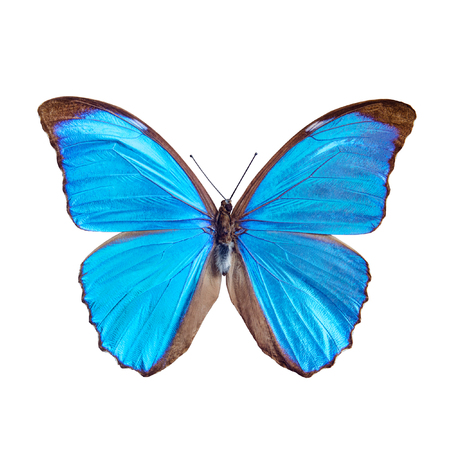 Blue butterfly tropical Morpho menelaus, Brasil, isolated on white background Stock Photo