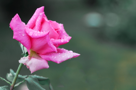 Pink rose in raindrops in the garden. Copy space