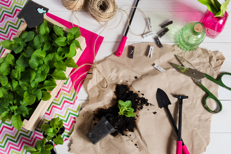 Young sprouts, shoot, seedling, sapling in a wooden box with topper and garden tools. Flat lay