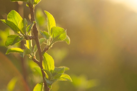 Spring is here. Bright rays of the setting sun on the background of blurred first greens with bright artifacts. Nature wakes up, dissolve the first leaves on the branches. Stock Photo