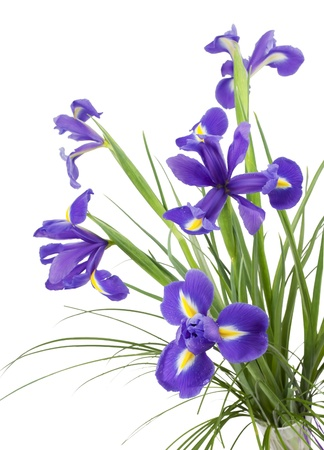 Dark purple iris flowers isolated on white background  Stock Photo
