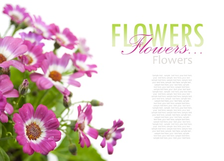 Beautiful pink flowers of cineraria on a white isolated background with sample text