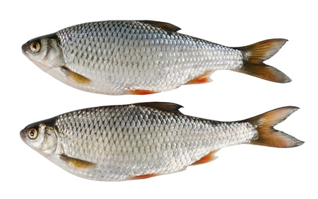 Two river fish, roach on white isolated background Stock Photo